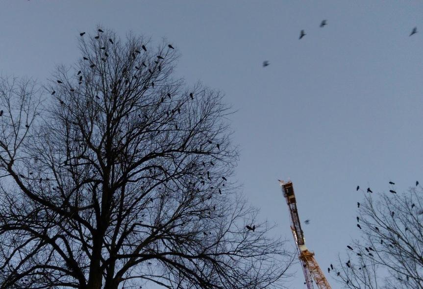 crows - 3.jpg